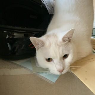 白猫ちゃんの里親募集中