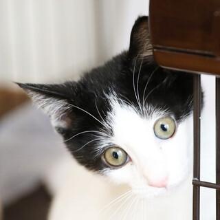 キトンブルーが愛らしい♡白黒ハチワレのコテツ坊や
