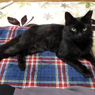 ふわふわな美人、黒猫ルナ