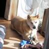 中型犬ミックスの女の子 ウルちゃん サムネイル6
