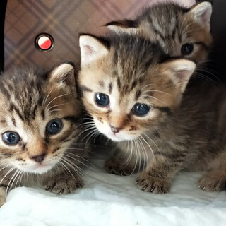 キジトラ子猫3匹