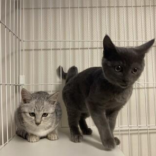 ロシアンブルー似のグレーの子猫(トライアル中)