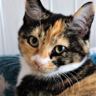 三毛猫【おからちゃん】♀ 4ヶ月