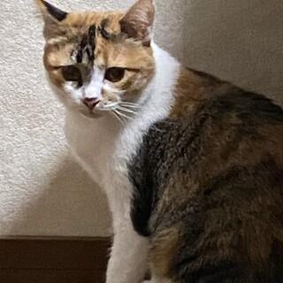 美しい三毛猫 ミーア