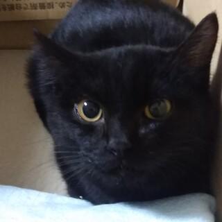 しまなみ海道 黒猫 ♂生後4ヶ月 毛並極上