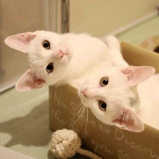 【11/28芝浦】お膝大好き甘えん坊★白い三兄妹