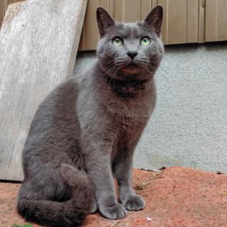 【急募】愛知県周辺で成人ネコをもらってくださる方