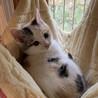 コロンコロンの三毛猫ちゃん