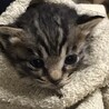 保護した生後4週間ほどの子猫の里親募集