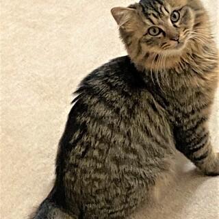 長毛キジトラ、スリゴロの若くん