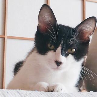 【つげ太】なつこい黒白ハチワレ子猫