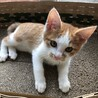 茶トラ白ハチワレ子猫 可愛い男の子