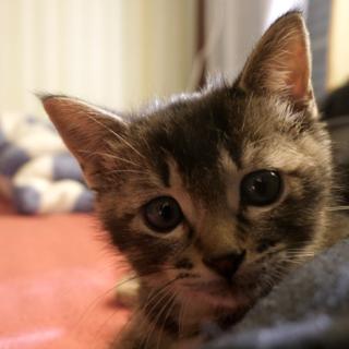 ヤンチャで甘えん坊な子猫の里親を募集します