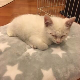 白い子猫 生後2ヶ月程度 里親さん募集です。