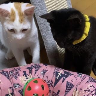 白茶と黒猫の仲良し二匹の仔猫ちゃんです❣️