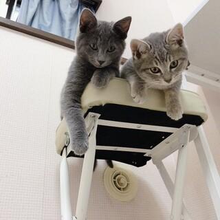 美しい毛色の仔猫兄弟