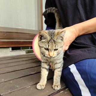 甘え上手の抱っこ大好きな茶色い猫です!
