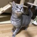 甘えん坊な美猫ちゃん♡グレースちゃん