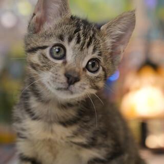 美形のキジ子猫