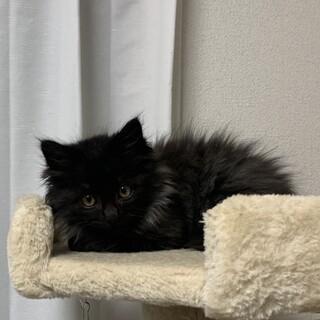ふわモコ長毛黒猫モップくん