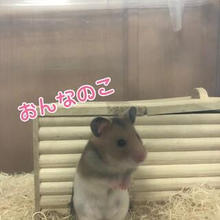 ハムちゃん一ヶ月赤ちゃん♂♀