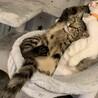 調布市☆一緒に成長できるキジトラ男子☆子猫です サムネイル2