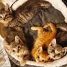 美ネコ兄妹2匹セットでお願いします(グレー♂)
