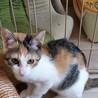 4ヶ月 三毛猫 マイペースなリンちゃん