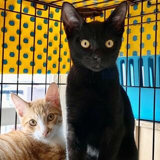 【11/28芝浦】甘えん坊な黒猫タンちゃん、茶白他