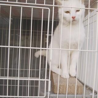人懐っこい白猫ちゃん♀の里親募集