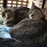 キジ猫 女の子2匹 4ヶ月