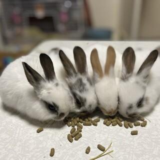 子ウサギ 11/25生まれ 引き渡し1月下旬〜