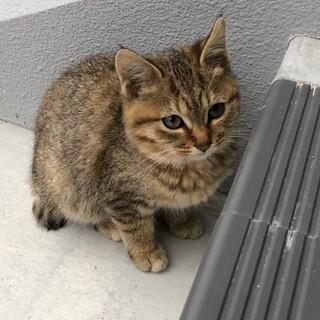 子猫2~3ヶ月(女の子)の里親さん募集