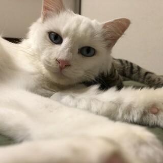 長毛の白猫君の里親募集!