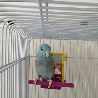 【決まりました】マメルリハ・荒鳥・もうすぐ3歳