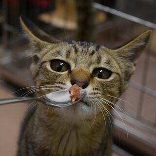 人懐っこいキジトラ猫、ミツちゃんです
