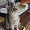 人も猫も好き!陽気なサバトラ♀ちゃん! サムネイル3