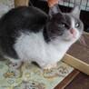 人も猫も好き!陽気な洋猫風はちわれグレー白♀ サムネイル2