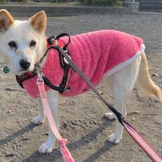 お散歩大好き!穏やかで優しいシニア犬  正代