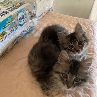 ふわふわ子猫 長毛キジトラ 黒猫