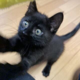 ◎ミルクから育てた黒猫の赤ちゃん♂