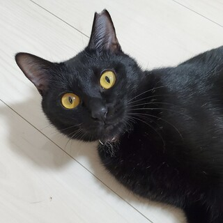 おしゃべり黒猫しーちゃん メス 7ヶ月前後(推定)