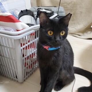 馴れると甘えたな黒猫まいちゃん 7ヶ月前後(推定)
