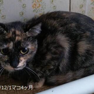 4ヶ月 サビ猫 賢いマコちゃん