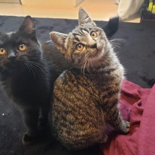 スーパースリゴロ子猫兄妹♡黒猫、キジトラ