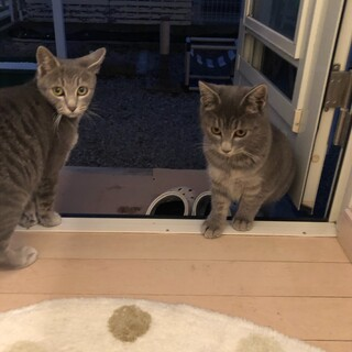 推定生後6ヶ月の2匹の仔猫を助けてください