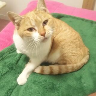 2020年11月保護 茶白の1歳未満の猫ちゃん