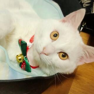 【12/6東日本橋】穏やかな白猫♡白田くん