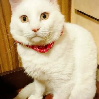 【12/6東日本橋】白猫コテツくん♡2歳