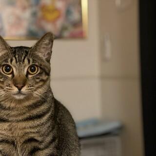 顔立ち綺麗なキジトラ♂
